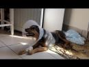 Жужа- собака,которая вопреки всему выжила и продолжает бороться! Жужа очень хочет встать на четыре лапки!