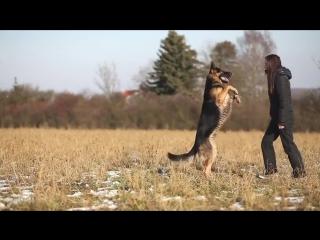 Німецька вівчарка. Красиве відео ! - Немецкая овчарка. Красивое видео !