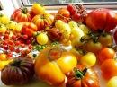 Необычные, экзотические и редкие сорта томатов. Лидеры продаж 2016 года!