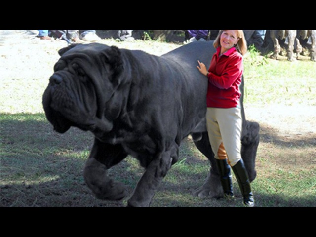Perros más Peligrosos Top10 Biggest Guard Dogs in the World Caucasia Kangal Rotweiler Pitbull