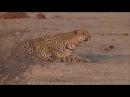 Молодой самец леопарда оттачивает свои охотничьи навыки Young male leopard hones his hunting skills