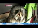 Водитель дальнобойщик из Красноярского края приручил дикую сову, и теперь она е ...
