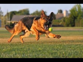 Немецкая овчарка, все породы собак, 101 dogs. Введение в собаковедение.