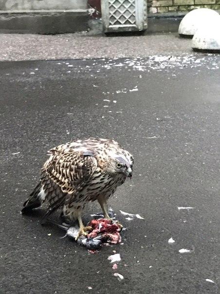 Жители Петербурга стали свидетеля того, как ястреб посреди улицы поужинал голубем
