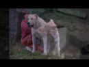 Бой собак алабай против питбуля