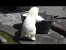 Белая медведица резвится в ледяных кубиках.