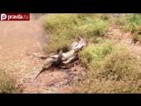 Питон против крокодила смертельная битва