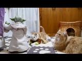 Во что играют японские коты?