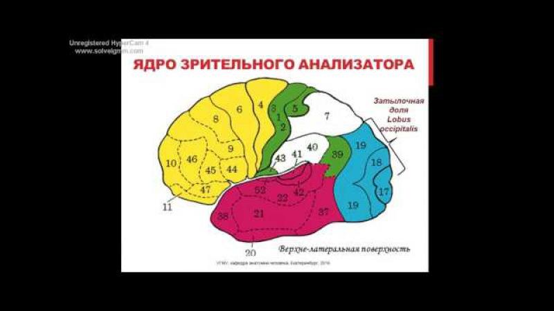 Локализация функций в коре головного мозга