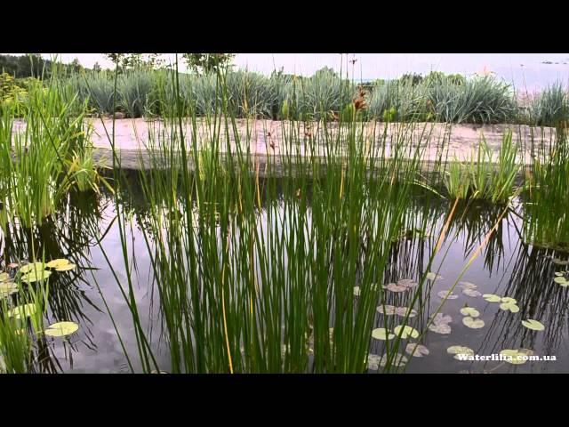 Озёрный камыш в питомнике Waterlilia