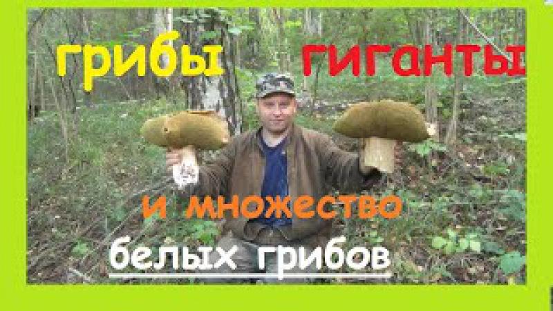 Грибы гиганты и множество,множество белых грибов