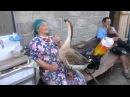 бабушка и ручной гусь grandma and domestic goose