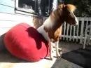 Пони отдыхает на кресле мешке - прикол!