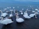 Анапа. Лебеди на городском пляже