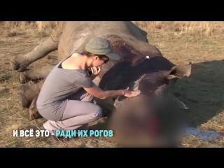 Как выглядит самый страшный хищник планеты, из-за которого вымирают носороги