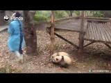 Панды любят няню