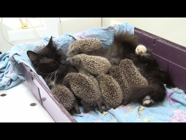 Мама Муся кошка усыновила восьмерых ёжиков сирот