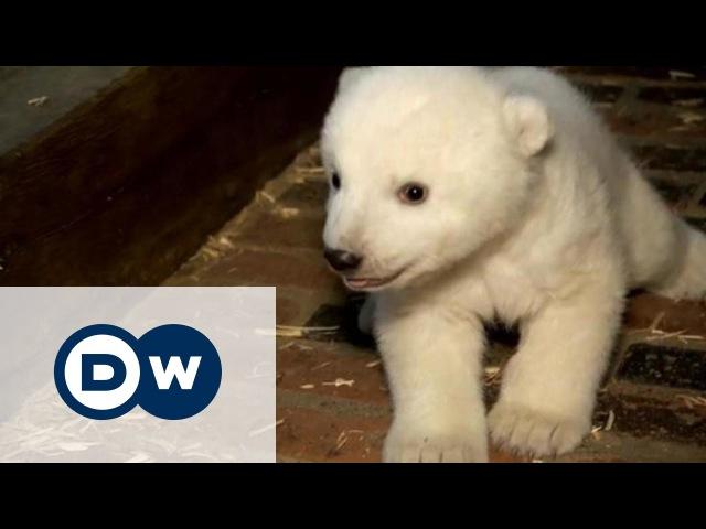 У Берлінському зоопарку тішаться потомству білих ведмедів