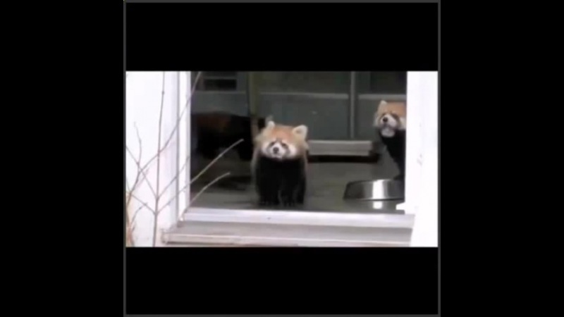 Whenever Im trying to be positive and have a relaxing day relatable RedPanda lmao messitup · coub, коуб