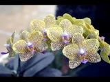 Как заставить цвести орхидею 2