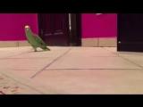 Зловещий смех попугая №3