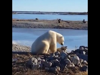 Туристы сняли на видео самого доброго белого медведя в мире. На глазах у изумленной публики северный хищник гладил собачку.
