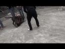 Собачьи бои 18 Ротвейлер vs Кане корсо.360