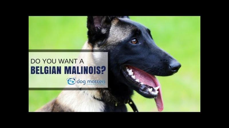 Do you want a malinois