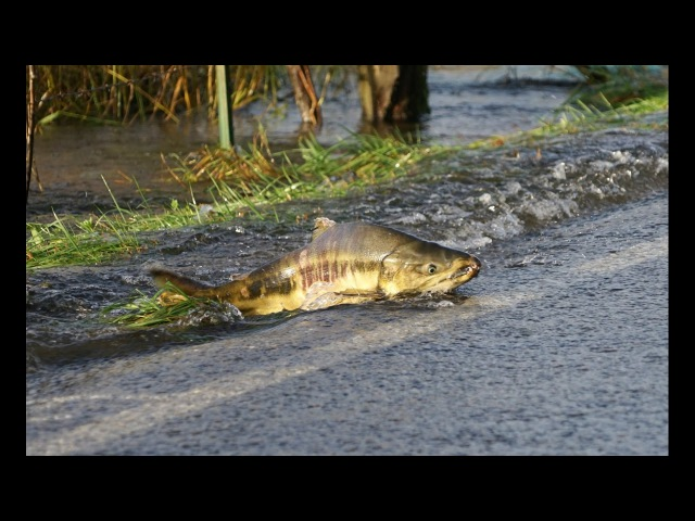 Skokomish River salmon cross the road/Part 1