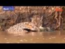 Охота ягуара на каймана. Силён бродяга!