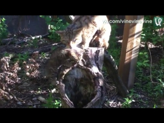 Дикая шотландская кошка с котенком в британском зоопарке