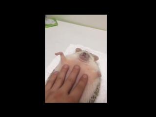 Ёжику делают массаж