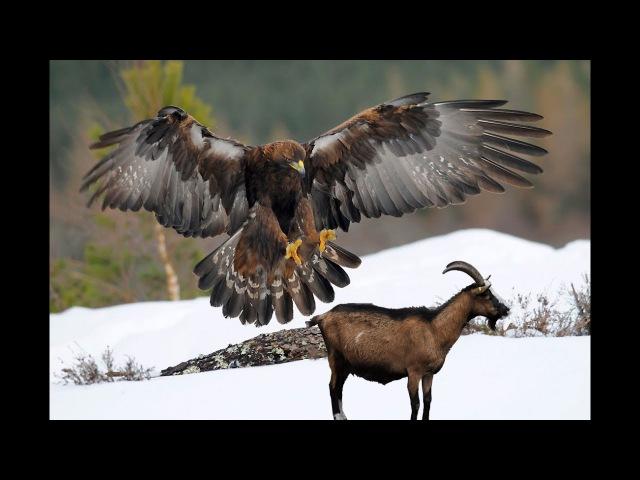 Águia atacando cabras da montanha