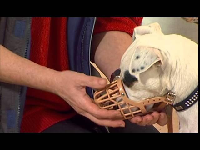 Дрессировка собак дома с нуля. Как приучить к наморднику?