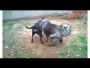 Rottweiler VS Caucasian Shepherd (ротвейлер, кавказская овчарка, собачьи бои)