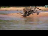 Ягуар и крокодил