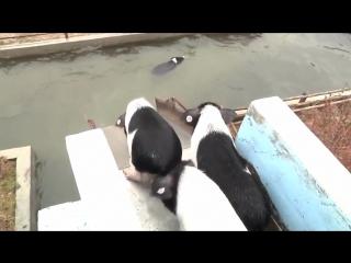 Плавающие китайские поросята