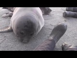 Cute sneezing seal - Bless you!