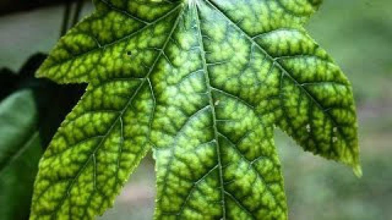 Растения 1: Определение нехватки элементов питания по листьям растения