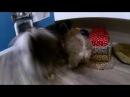 Мики и Мини. Померанский шпиц: знакомство с GoPro, собачьи бои, с головы по камере. Ж ...