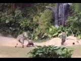 Zookeeper is viciously attacked by a zebra, in Chimelong park, Guangzhou, China