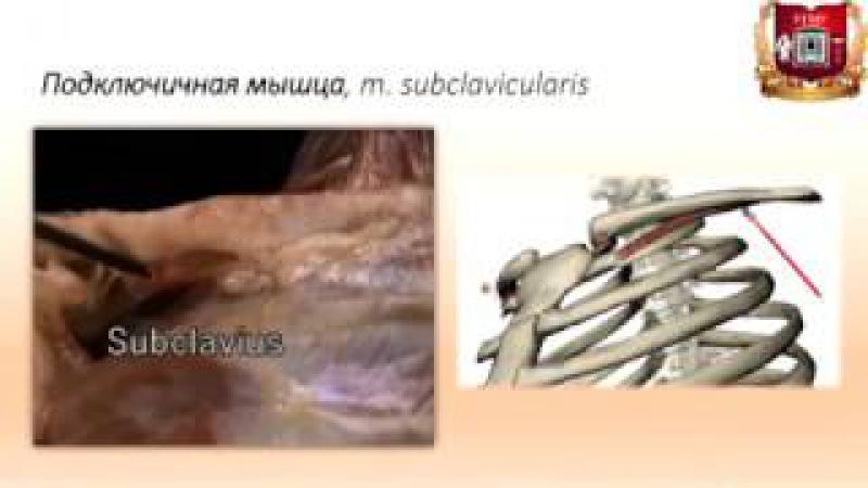 Мышцы и фасции груди: строение, функции, кровоснабжение, иннервация