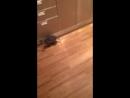 Бешеный котей