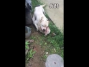 Собачьи бои 18 Аргентинский дог vs Бультерьер