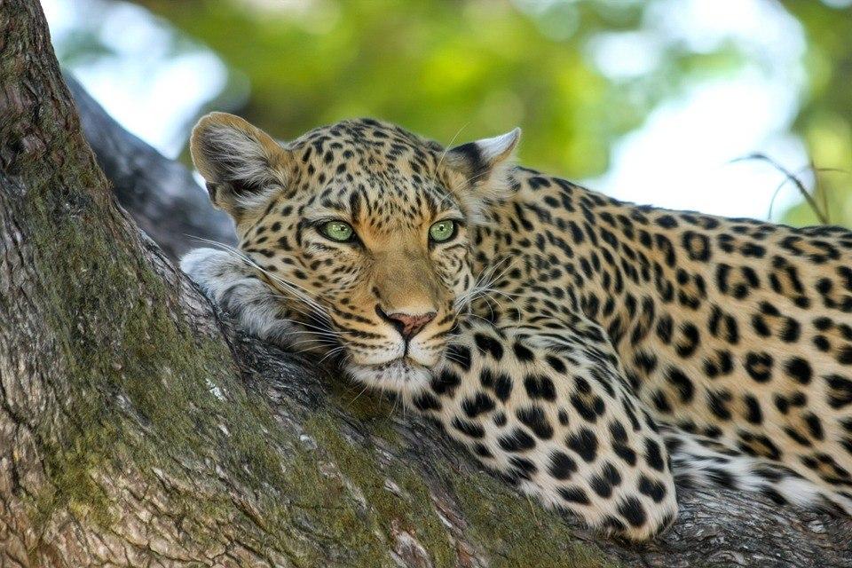 Колпашевский суд запретил доступ к объявлению о продаже леопарда