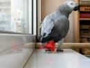 """Попугай Жако! - поёт песню Ани Лорак - """"Расскажи"""""""