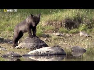 Восхождение чёрного волка (National Geographic)