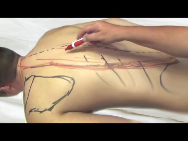 Рабочая последовательность, анатомические особенности и ориентиры при массаже спины
