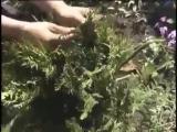 Как правильно поливать и удобрять Как ухаживать за бегонией Урожайные грядки
