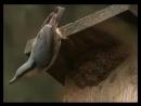 Поползень-строитель. Nuthatch-builder дикий мир и поведение животных в нем